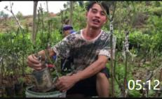 05:12 农村农民农业芒果种植业